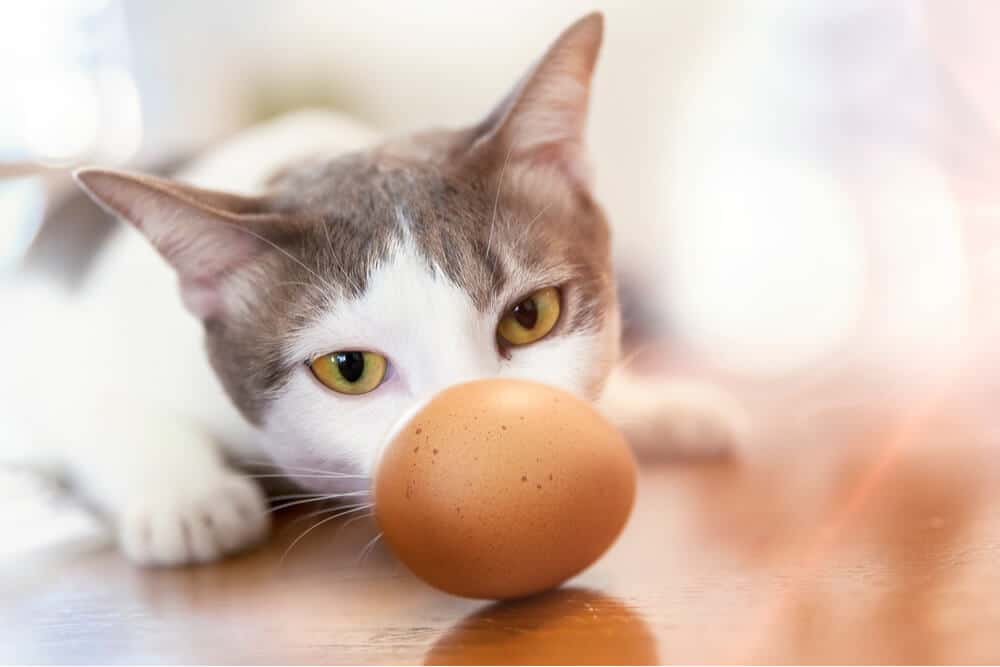 Cat looking at an egg