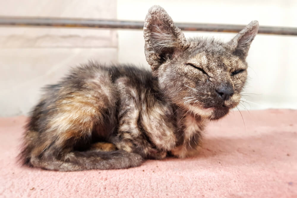 Causes of Mange in Cats