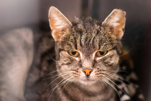 Feline Infectious Peritonitis Causes Symptoms Treatment We Re All About Cats