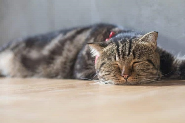 Causes of hypercalcemia in cats