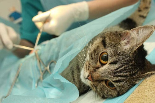 Spaying a cat reduces their chances of developing breast cancer