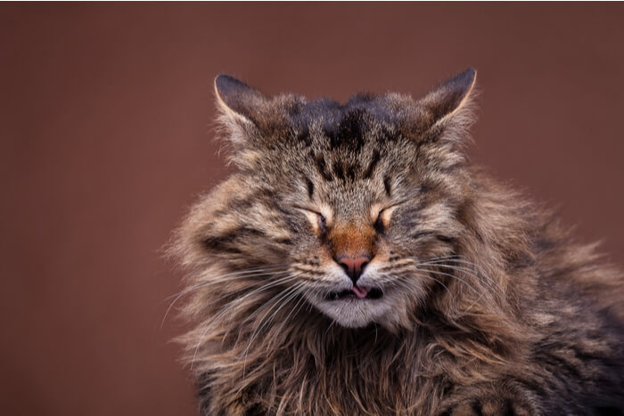 Maine coon in the middle of a sneeze