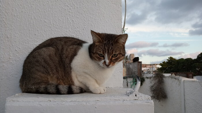 About the Aegean Cat