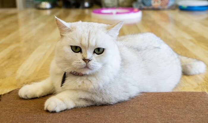 Breed plays a part in determining how long a cat will live