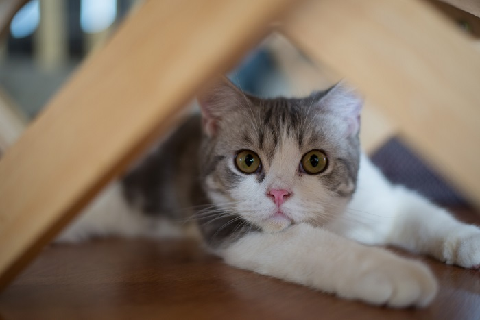 American Wirehair Cat History