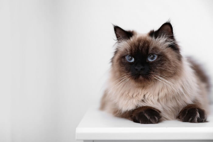 About the Balinese Cat