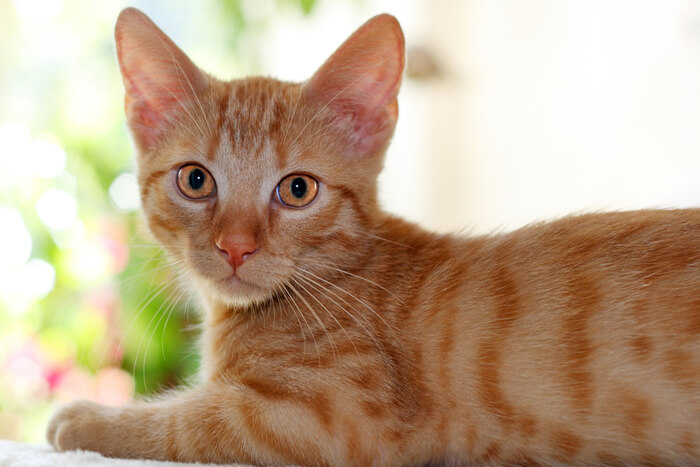 Benefits of Almond Milk for Cats