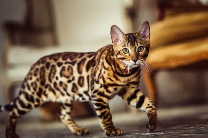 About the Bengal Cat