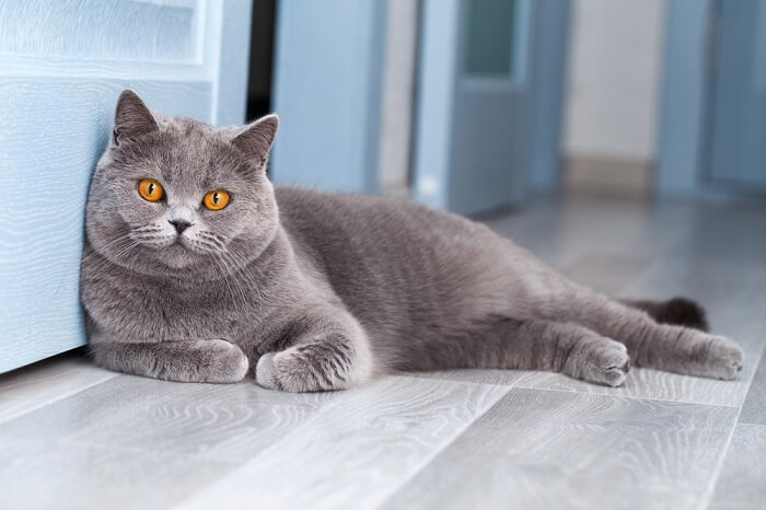 About the British Shorthair Cat