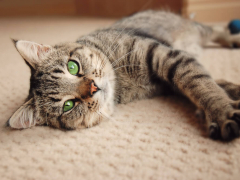 Brown tabby cat lying on on carpet