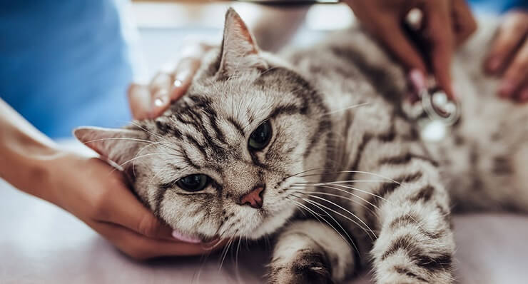 Treatment of Arthritis in Cats