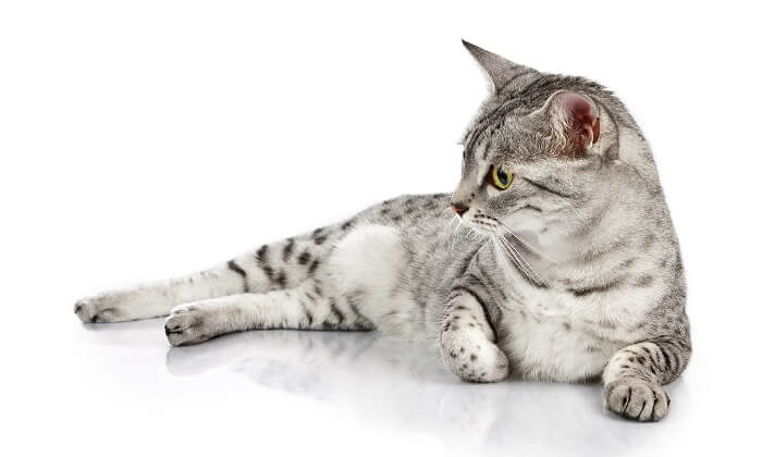 About the Egyptian Mau Cat
