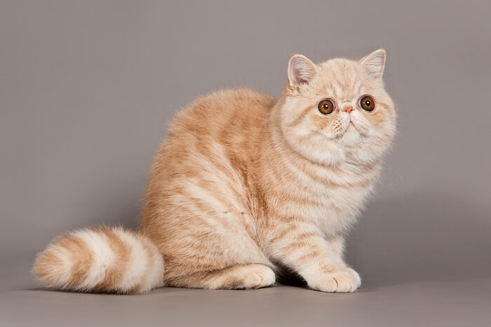 About the Exotic Shorthair Cat