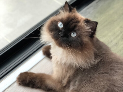 About the Himalayan Cat