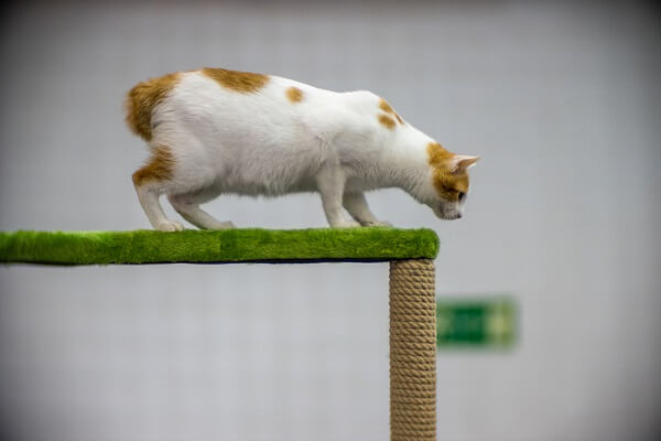 About the Japanese Bobtail Cat