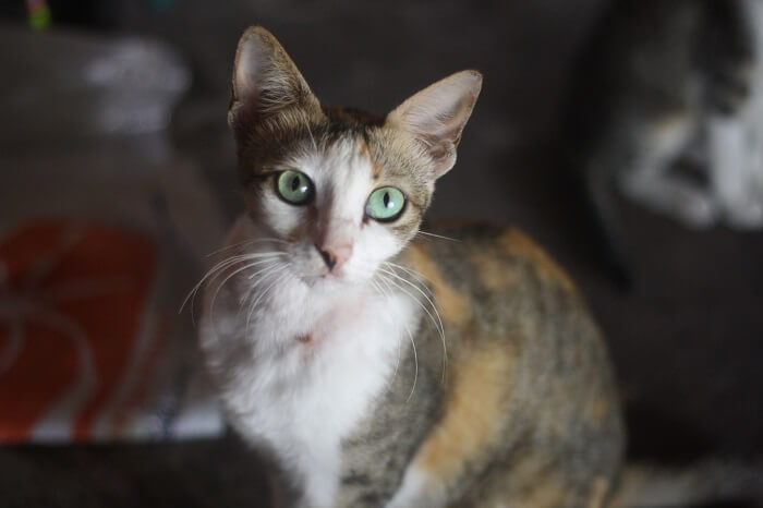 About the Javanese Cat