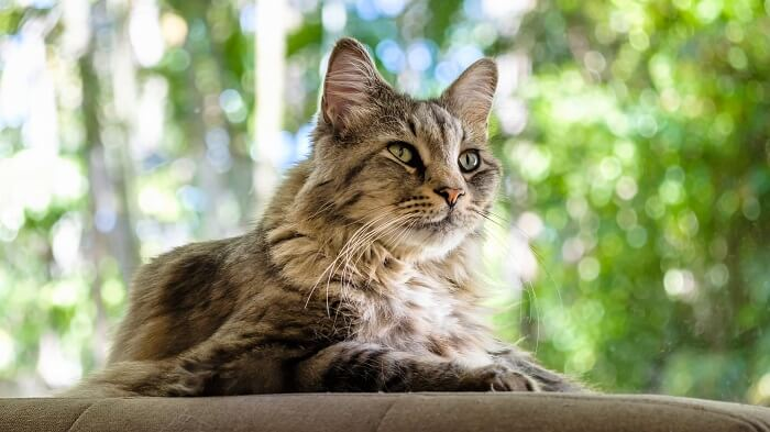 Maine Coon Cat History