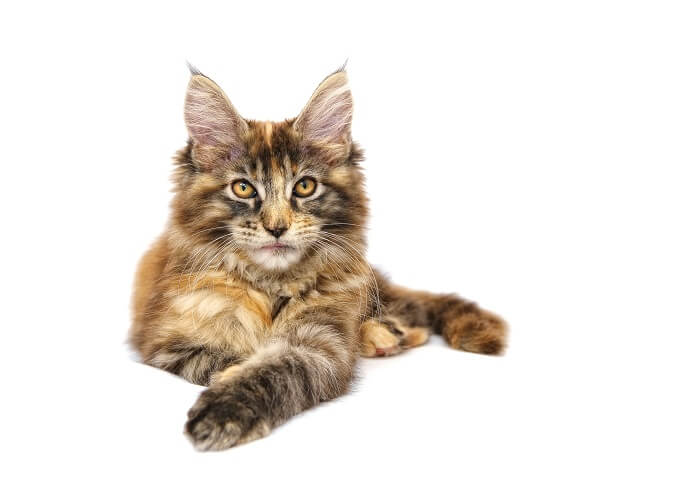 About the Maine Coon Cat