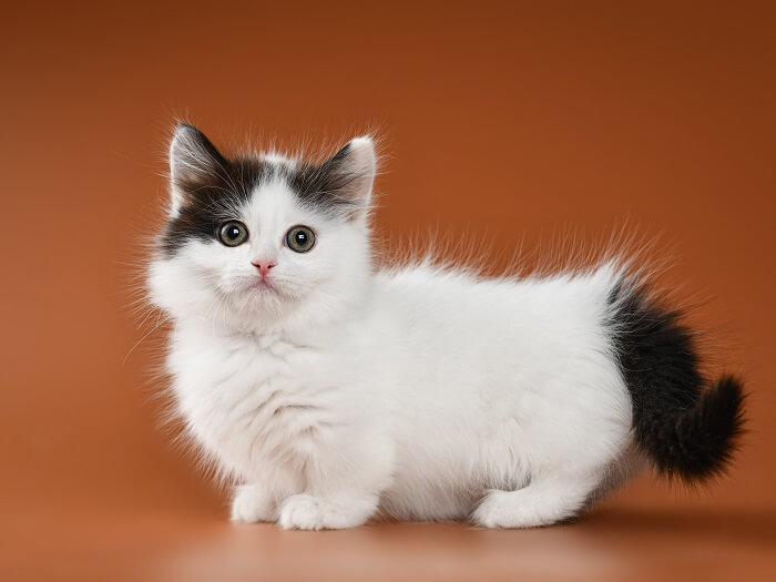 About the Munchkin Cat