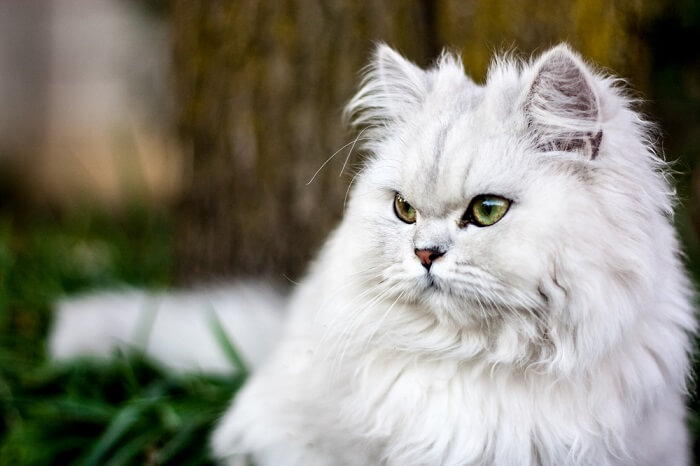 About the Persian Cat