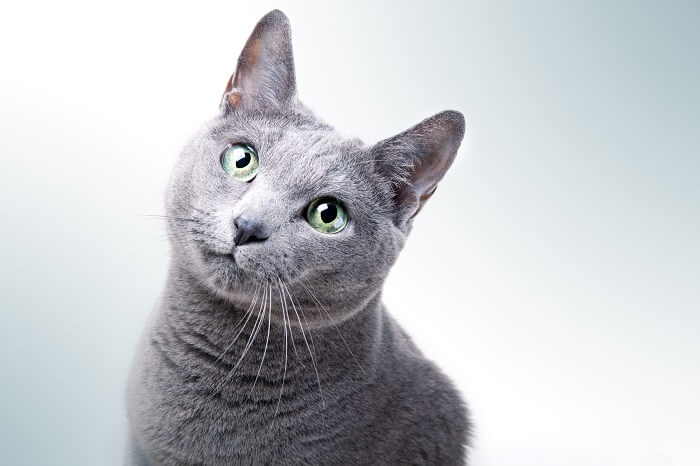 About the Russian Blue Cat