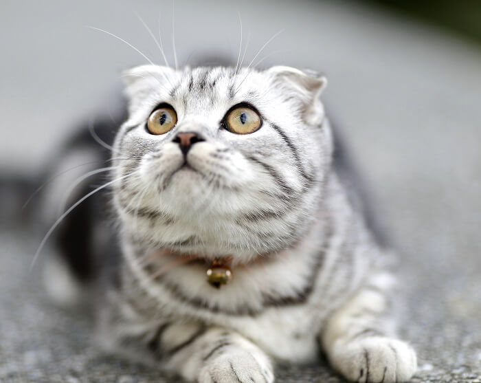 About the Scottish Fold Cat