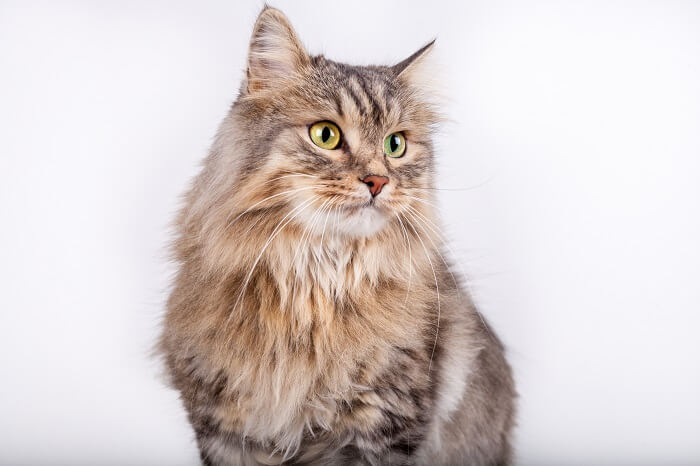 About the Siberian Cat