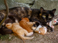 Feral cat nursing kittens