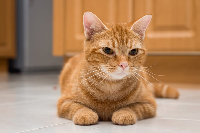 About the American Shorthair Cat