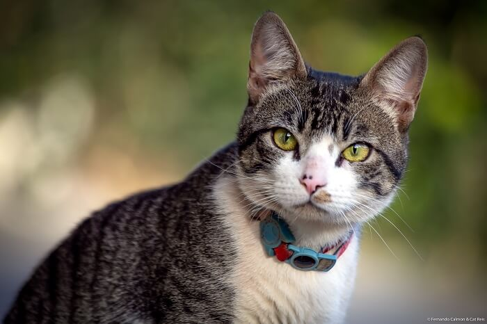 About the American Wirehair Cat