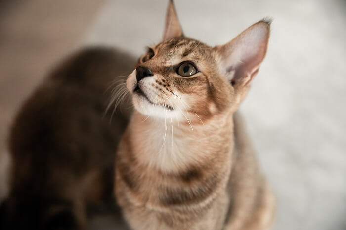 About the Chausie Cat