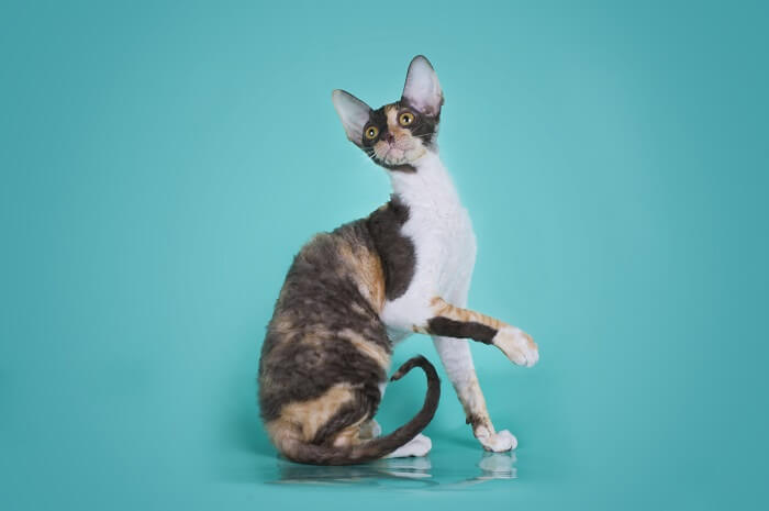 About the Cornish Rex Cat