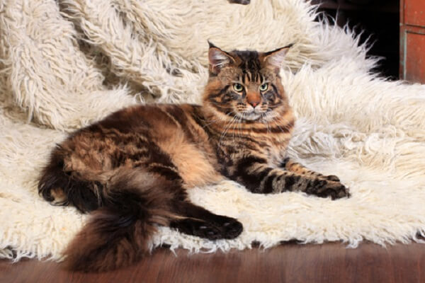 Maine Coon Cat Care