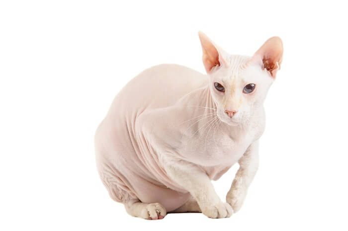 About the Peterbald Cat