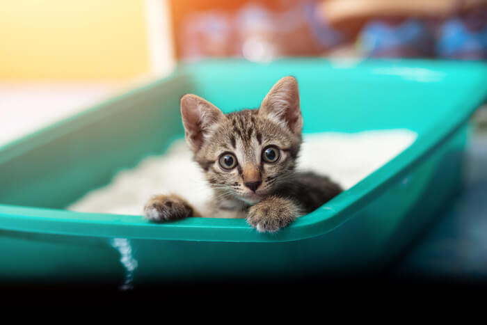 How do animals become infected with toxoplasmosis