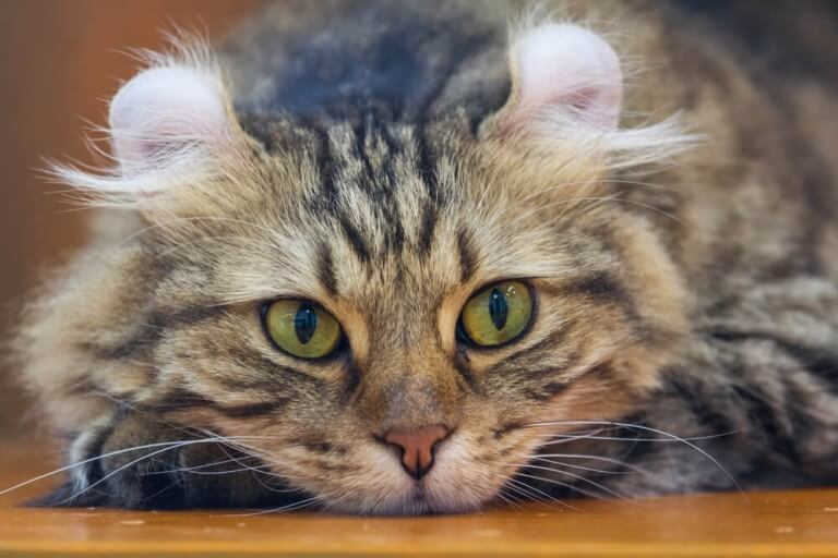 About the American Curl Cat