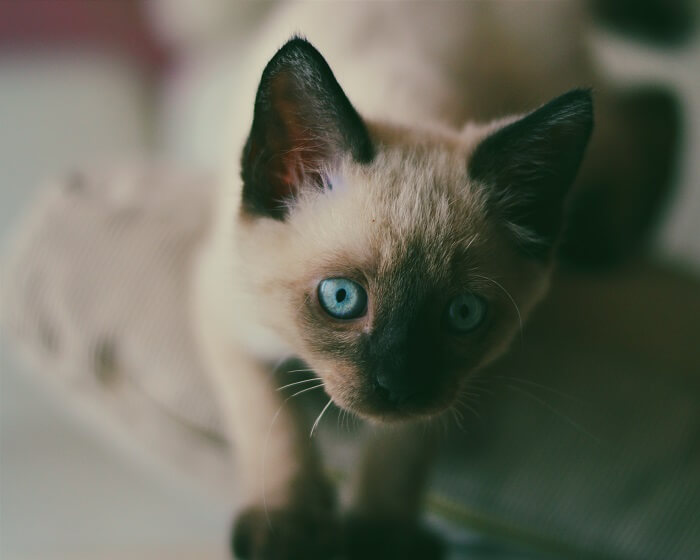 About the Siamese Cat