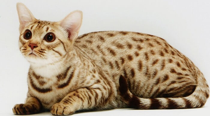 About the Ocicat Cat