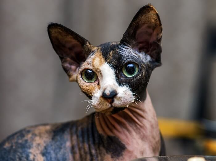 About the Sphynx Cat