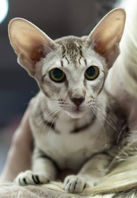 About the Oriental Shorthair Cat