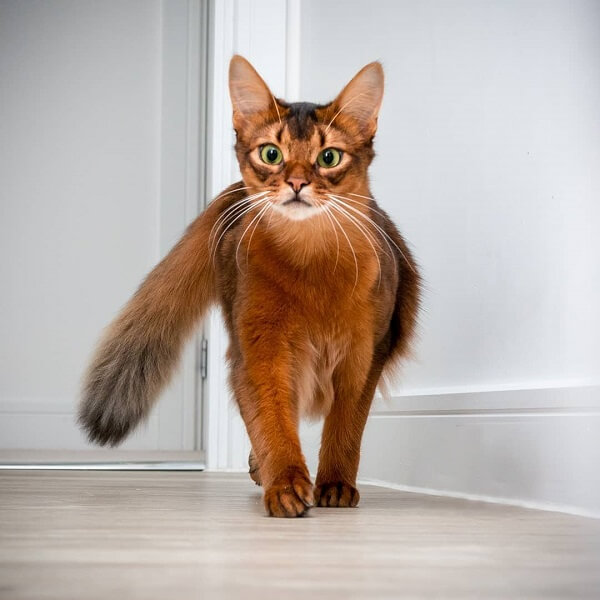 About the Somali Cat