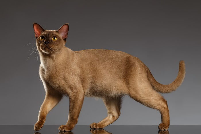 About the Burmese Cat