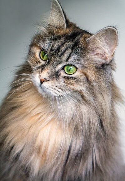 Norwegian Forest Cat Cat History