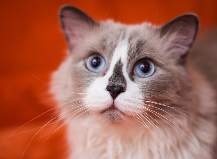 About the Ragdoll Cat