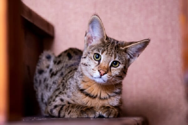 About the Savannah Cat