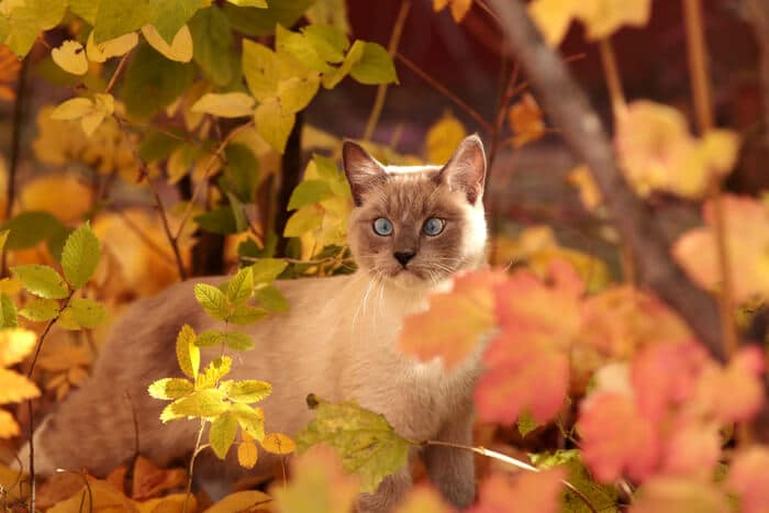 How common is strabismus in cats