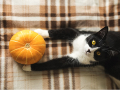 Is pumpkin good for cats feature