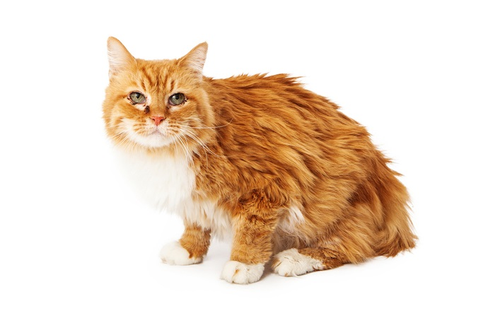 Signs of Lymphoma in Cats