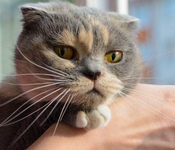 Dilute calico cat with green eyes