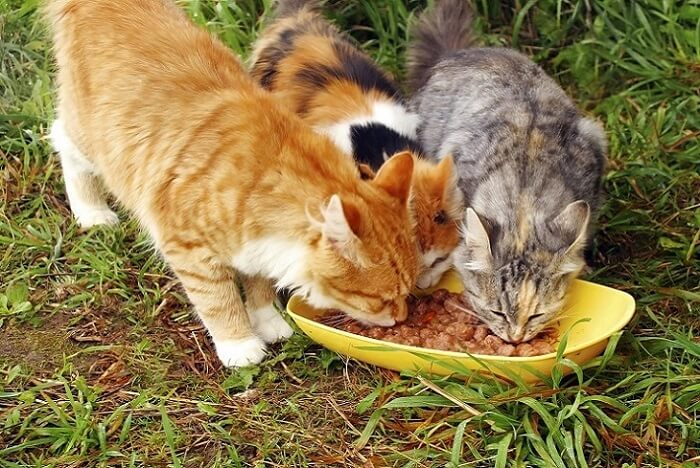 Cats eating homemade cat food
